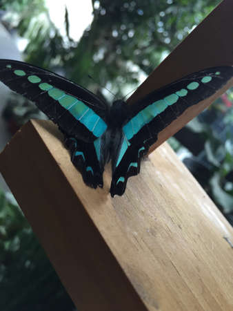 Beautiful blue and black butterfly with wings spread out Stock Photo