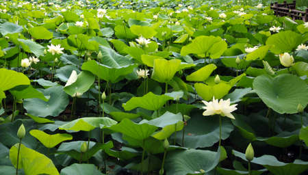 A whole pond covered with lotus on Nami Island, South Korea