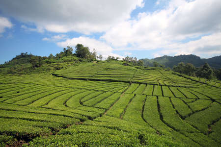 Vast Tea Plantation on Hill Slopes in Ciwidey, Bandung, Indonesia Stock Photo