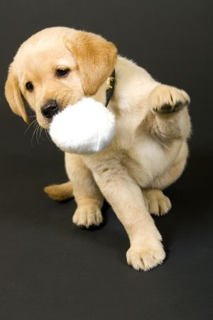 Puppy Labrador retriever playing with hair ball on black background photo