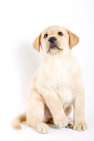 seated puppy labrador photo