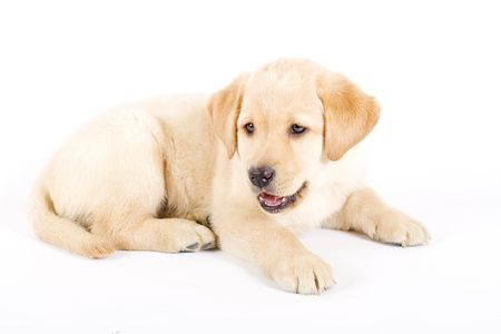 seated puppy labrador with mouth open photo
