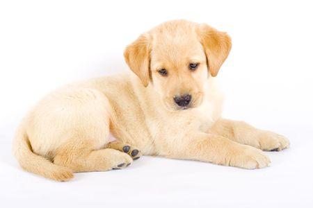 Puppy Labrador retriever photo