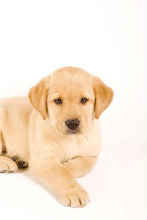Single puppy labrador retriever isolated on white background photo