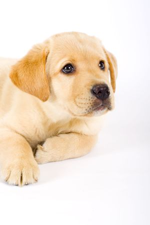 labrador puppy: Single puppy labrador retriever isolated on white background