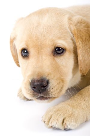 closeup of a labrador retriever puppy photo