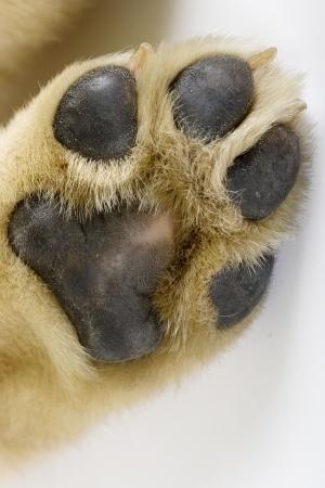 puppy labrador paw photo
