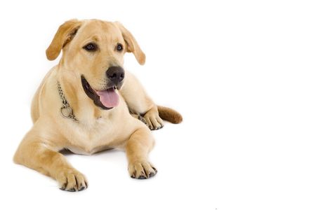 look down: Puppy Labrador retriever cream in front of white background and facing the camera