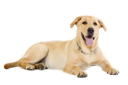Puppy Labrador retriever cream in front of white background Stock Photo - 5457544