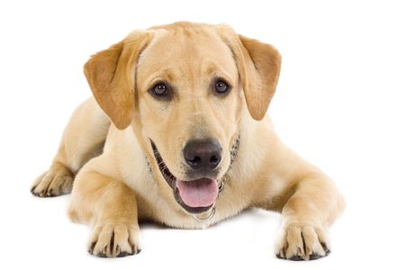 seated Puppy Labrador retriever cream in front of white background Stock Photo - 5457547