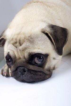 ojos tristes: foto de primer plano de un pug lindo con los ojos tristes