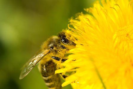 Bee on dandelion photo