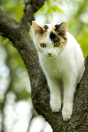 siamese cat: cat in a tree Stock Photo