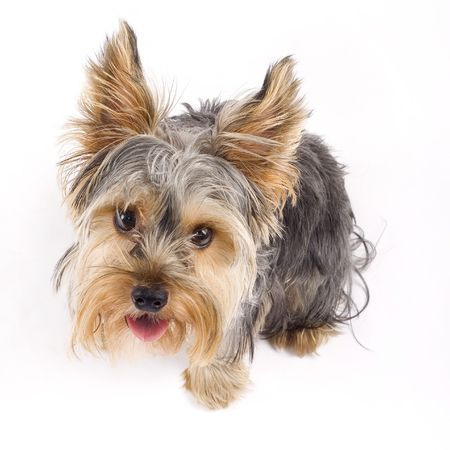 love: a small curious yorkshire terrier seated ove white