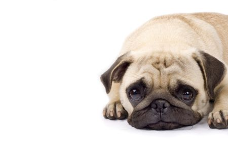 sad eyes: closeup picture of a cute pug with sad eyes. copyspace available Stock Photo