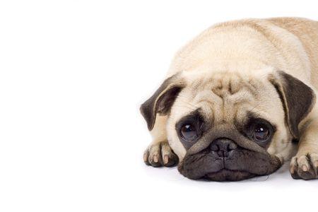 occhi tristi: foto primo piano di un pug cute con gli occhi tristi. copyspace disponibili