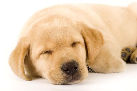 closeup of a labrador retriever puppy sleeping over white photo