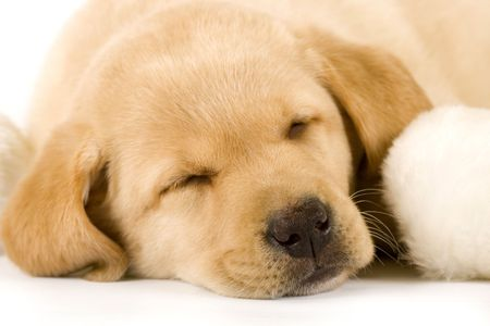 closeup picture of a labrador retriever puppy sleeping near a fur ball photo