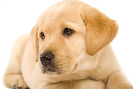 closeup of a labrador retriever puppy with cute eyes photo