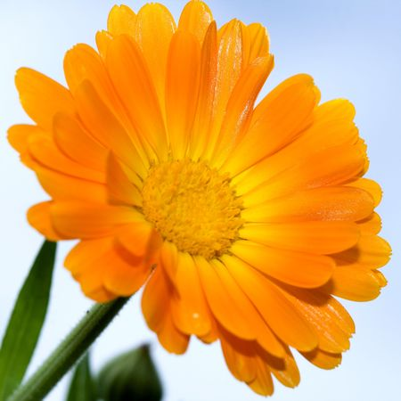 Closeup of yellow daisy-gerbera in the outdoor photo