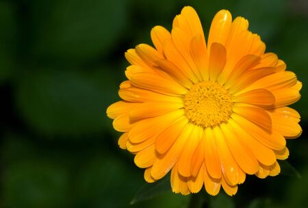 picture of a beautiful yellow gerbera against natural background photo