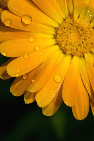bolus: closeup of yellow Gerbera Jamesonii Bolus flower with water drops on it