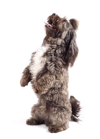 havanese: Havanese dog standing on his hind legs isolated on a white background Stock Photo
