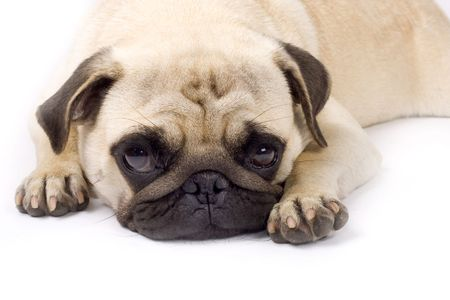cur: picture of a sleepy pug with sad eyes on a white background