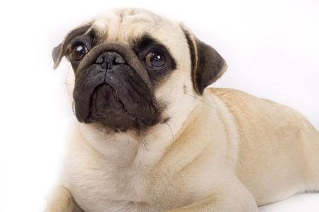 carlin: close-up on a pug puppy  in front of a white background Stock Photo