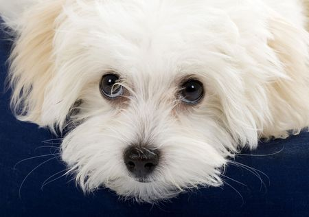 havanese: closeup picture of a bichon cute eyes. it sits on a puppy bed