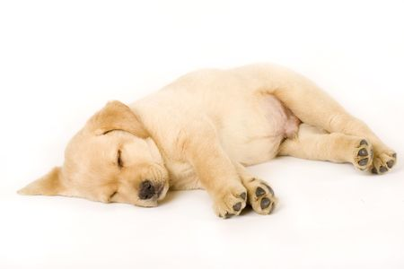 sleepy: Sleeping Labrador retriever puppy against white background Stock Photo