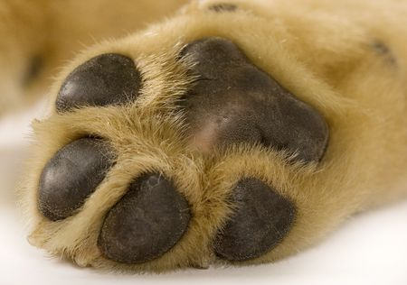 huellas perro: foto de primer plano de una pata cachorro labrador Foto de archivo