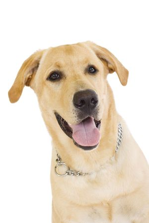 portrait of a Labrador retriever cream in front of white background photo