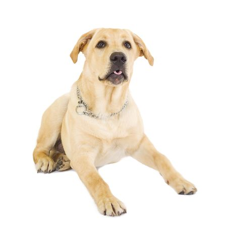 picture of an alert labrador retriever over white background photo