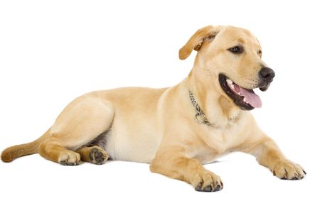 yellow yellow lab: picture of a labrador retriever seated on a white background Stock Photo