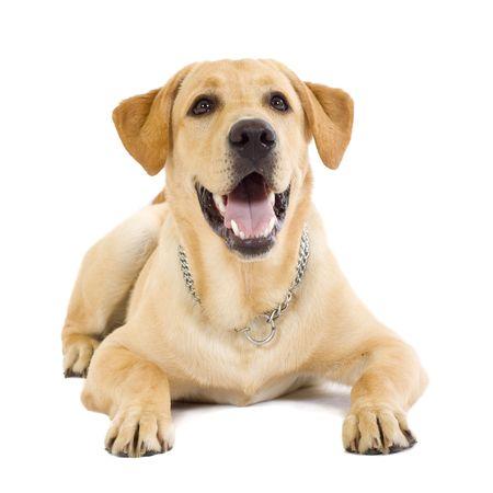 犬歯: 子犬ラブラドール レトリーバー クリーム白い背景の前に座っています。