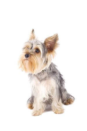 uncombed: picture of an uncombed puppy yorkshire terrier Stock Photo