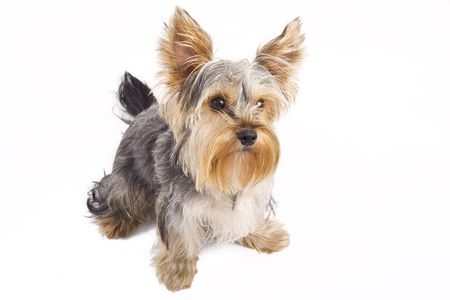 cur: picture of a cute yorkshire terrier standing on a white background