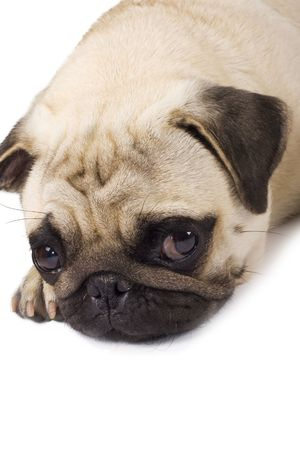 Lonely looking Pug isolated on white background. photo