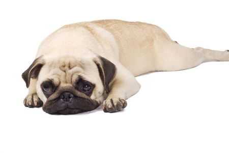 pout: picture of a  pouting pug, isolated on white