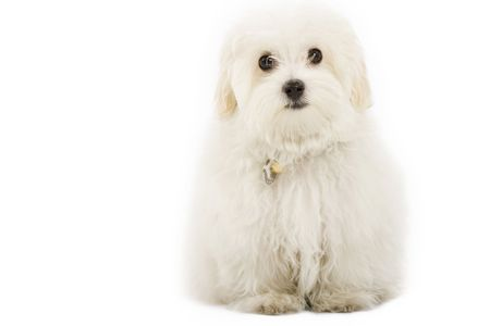 bichon: maltese dog sitting in front of white background