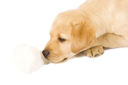 puppy labrador retriever playing with fur ball over white background photo