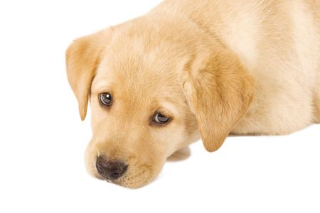 Puppy Labrador retriever with sad eyes on white background photo