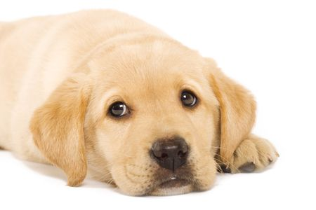 Golden Retriever puppy isolated on a white background photo