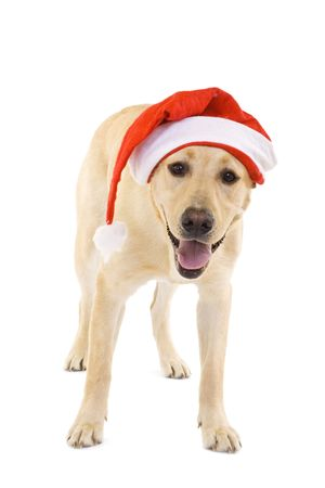 labrador christmas: labrador retriever wearing a Santa hat, Studio isolated.