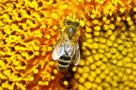 macro picture of a working bee on a sunflower photo