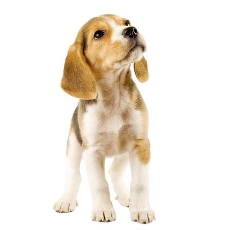 Beagle (2 months) in front of white background  photo
