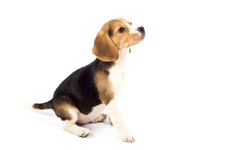 beagle terrier: side view of a Beagle in front of white background