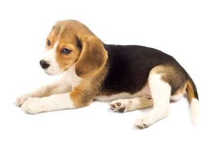 raised eyebrow: Picture of Beagle puppy looking to to a side looking sad  Stock Photo