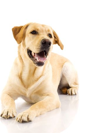 perro labrador: Cachorro Labrador retriever crema delante de fondo blanco
